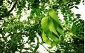 皂角/皂荚树怎么种?皂荚种植技术