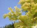 水杉育苗和栽培技术
