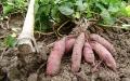 甘薯扦插后主要技术措施
