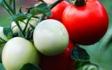 蕃茄青枯病防治措施