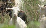 白山羊的养殖技术
