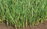 蒜苗关键期补水补肥有方法